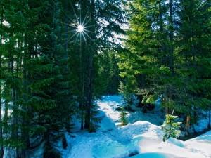 Nieve bajo los pinos verdes