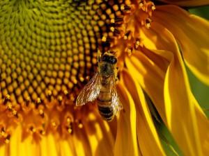Postal: Una abeja posada en un girasol