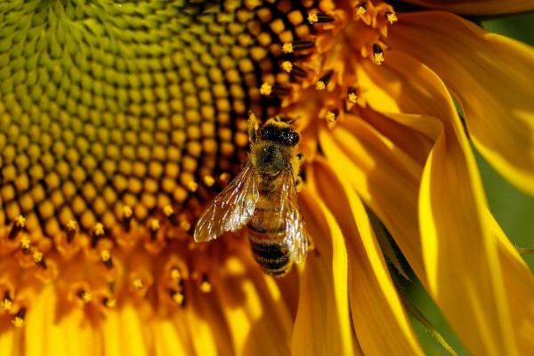 Una abeja posada en un girasol