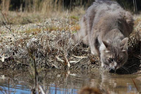 Un gato bebiendo agua de un estanque