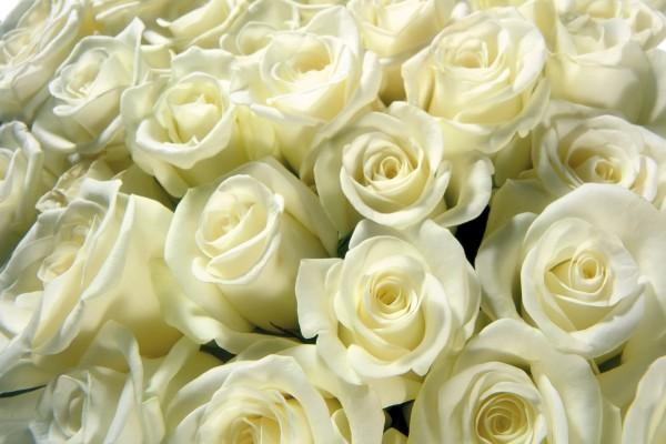 Varias rosas blancas