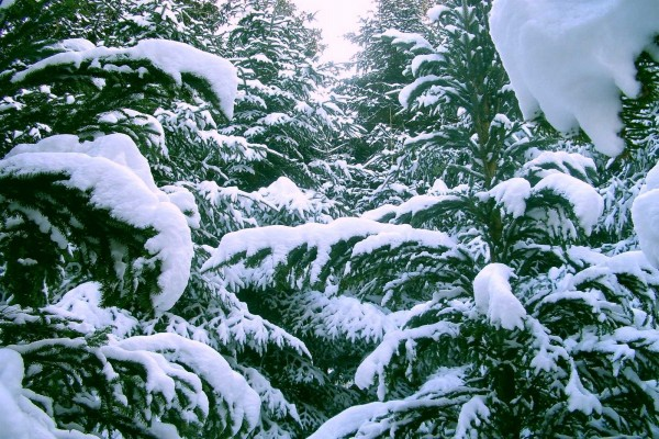 Nieve blanca sobre las ramas de los pinos