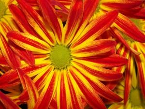 Flores con pétalos rojos y amarillos