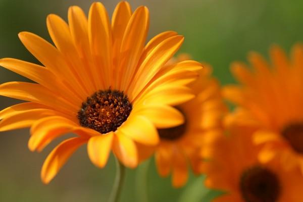 Flores naranjas con largos pétalos