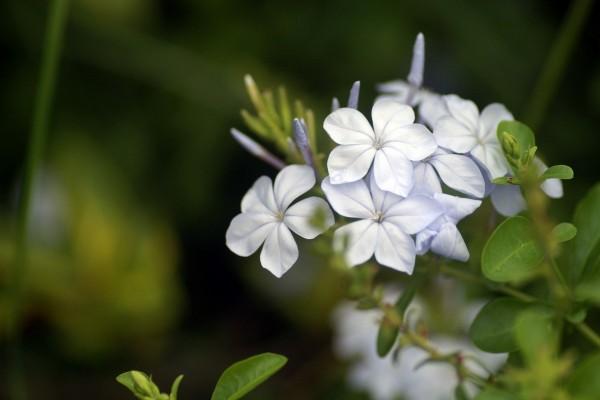Flores de cinco pétalos
