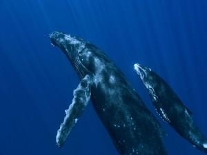 Postal: Dos ballenas nadando hacia la superficie