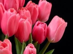 Postal: Un bello ramo de tulipanes rosas