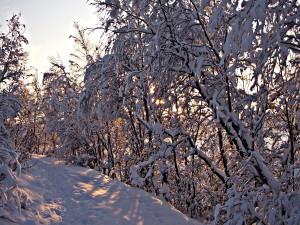 Postal: Los rayos del sol filtrándose entre los árboles nevados