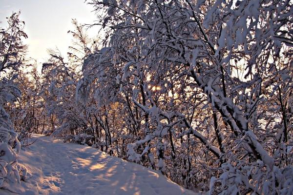 Los rayos del sol filtrándose entre los árboles nevados