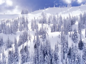 Grandes pinos en la nieve