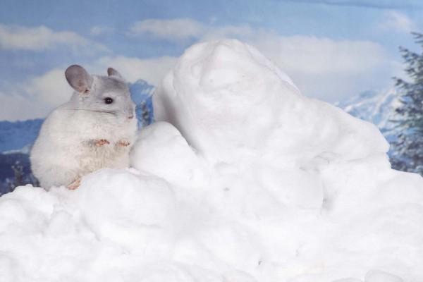 Chinchilla en la nieve