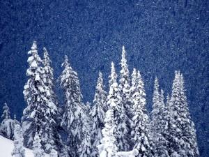 Un gran pinar cubierto de nieve