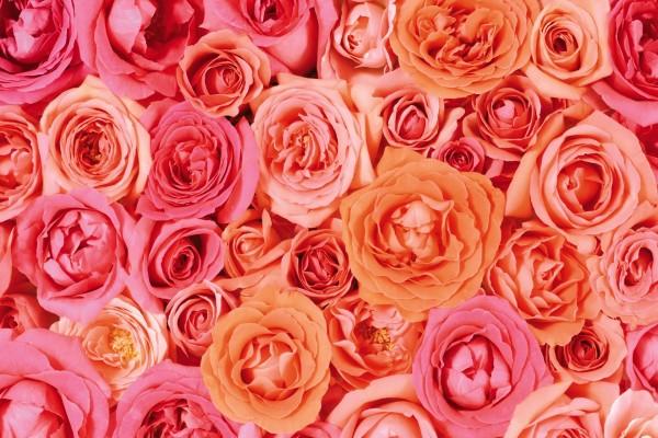 Rosas en tres tonos pastel