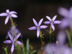 Flores con largos pétalos de color lila