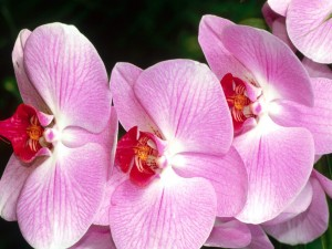 Flores de orquídea en tonos rosa