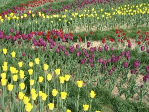 Campo con tulipanes amarillos, morados y rojos
