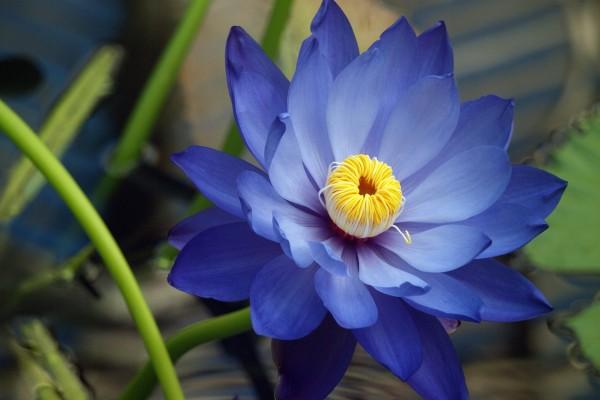 Una preciosa flor de loto azulada