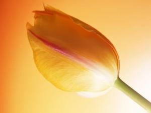 Pétalos y tallo de un hermoso tulipán