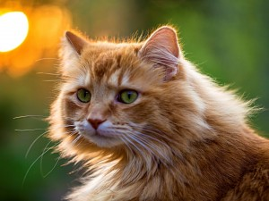 Postal: Gatito con un suave pelo marrón y ojos verdes