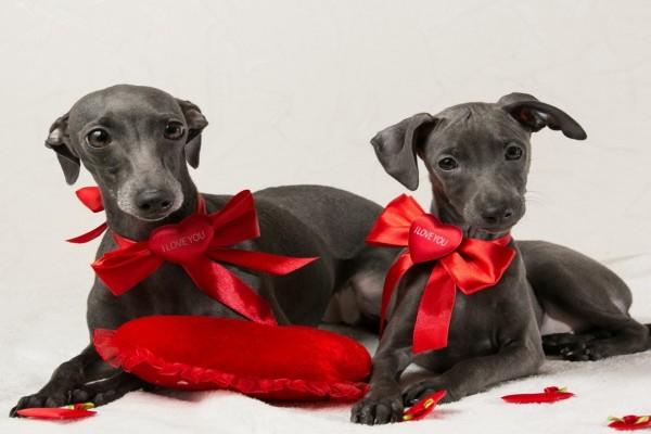 Dos hermosos perros con lazos y corazones rojos