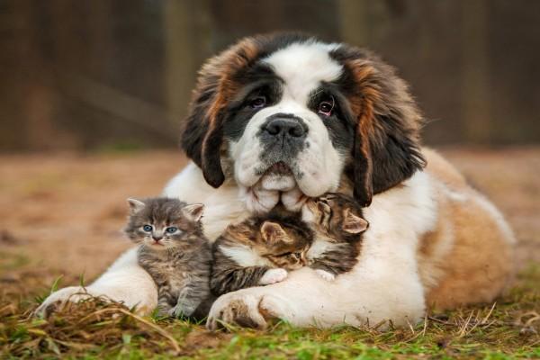 Un perro cuidando a unos bellos gatitos