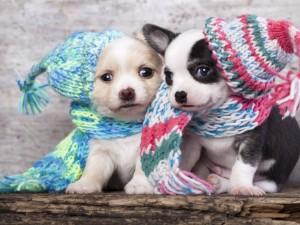 Postal: Dos elegantes perritos con bufanda y gorro