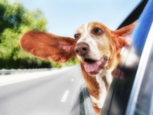 Postal: Un inquieto perro asomado por la ventana de un auto