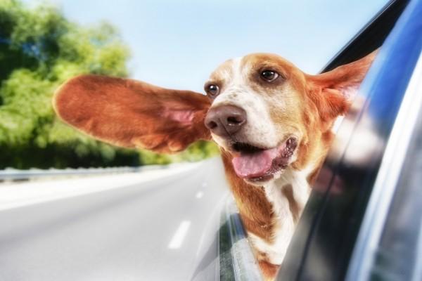 Un inquieto perro asomado por la ventana de un auto