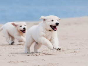 Cachorros blancos corriendo en la arena