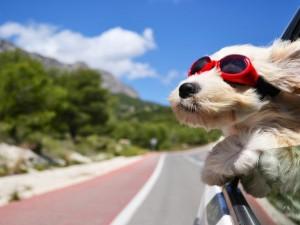 Perro con gafas y las orejas al viento asomado por la ventana del auto