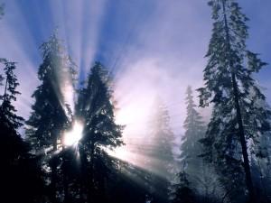 Postal: Rayos del sol entre dos grandes pinos