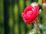 Brote junto a una rosa