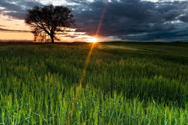 Destellos del sol sobre un campo de espigas verdes