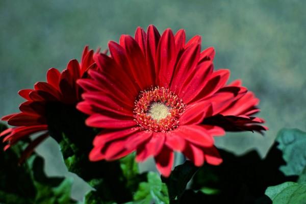 Gerberas de un bonito color rojo