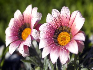 Dos bellas flores cubiertas de gotas de agua