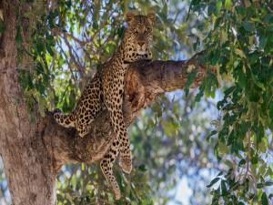 Leopardo descasando sobre la gruesa rama del árbol