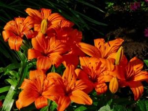 Postal: Varios lilium color naranja