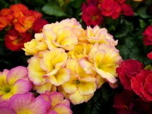 Hermosas primulas de varios colores