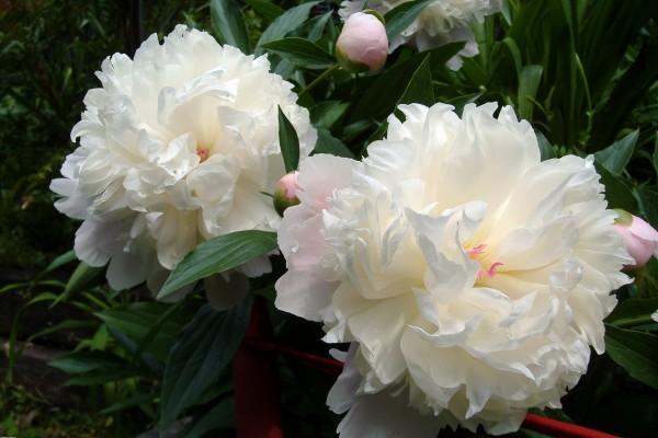 Dos grandes peonías blancas