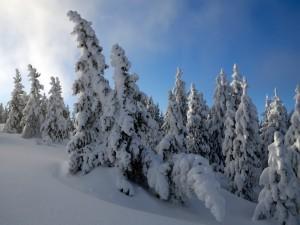 Gruesa capa de nieve sobre los abetos