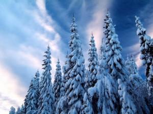 Postal: Nieve sobre la copa de los grandes pinos