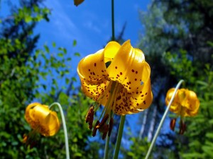 Grandes liliums de color amarillo