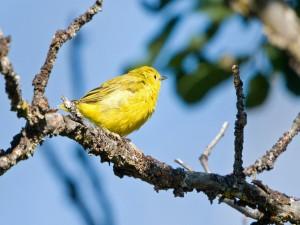 Postal: Un pájaro amarillo sobre una rama