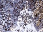 Nieve cubriendo las ramas de los abetos