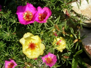 Bellas portulacas