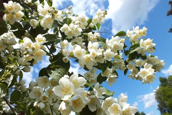 Destacada floración de un gran árbol