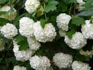 Hydrangeas blancas en la planta