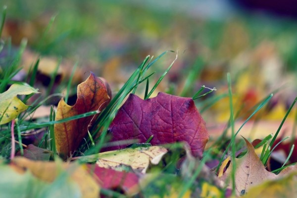 Hojas otoñales caídas en la hierba