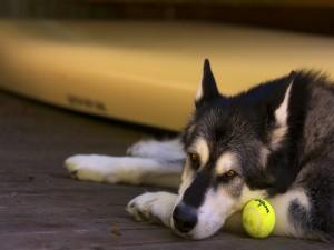 Perro tumbado junto a una pelota de tenis