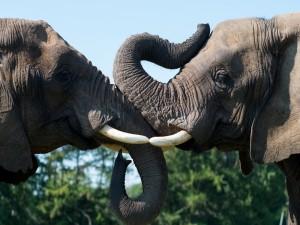Dos elefantes unen sus grandes trompas y colmillos